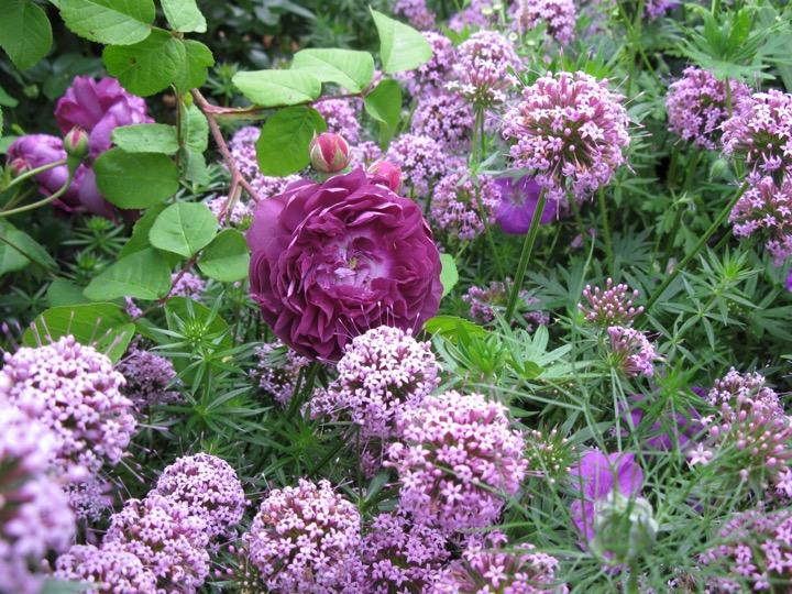 Pflanzung - lila Blumen