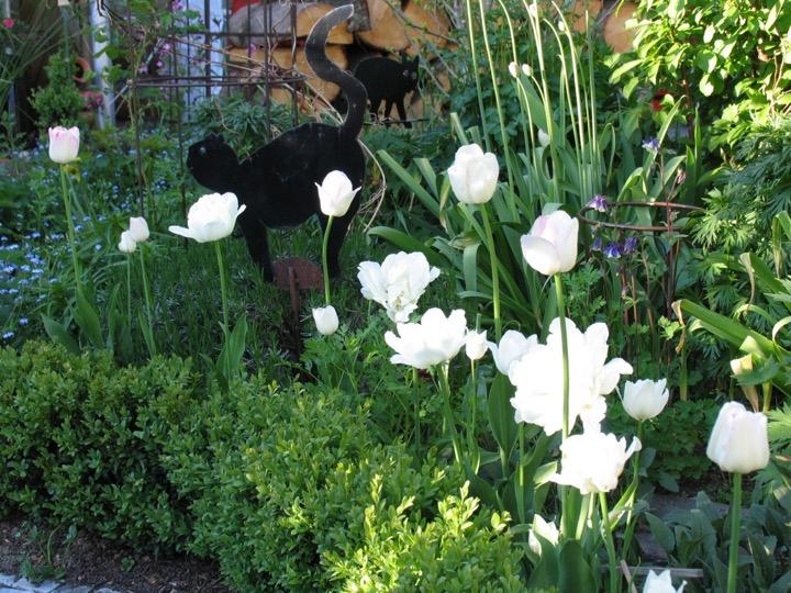 Pflanzung - weisse Tulpen